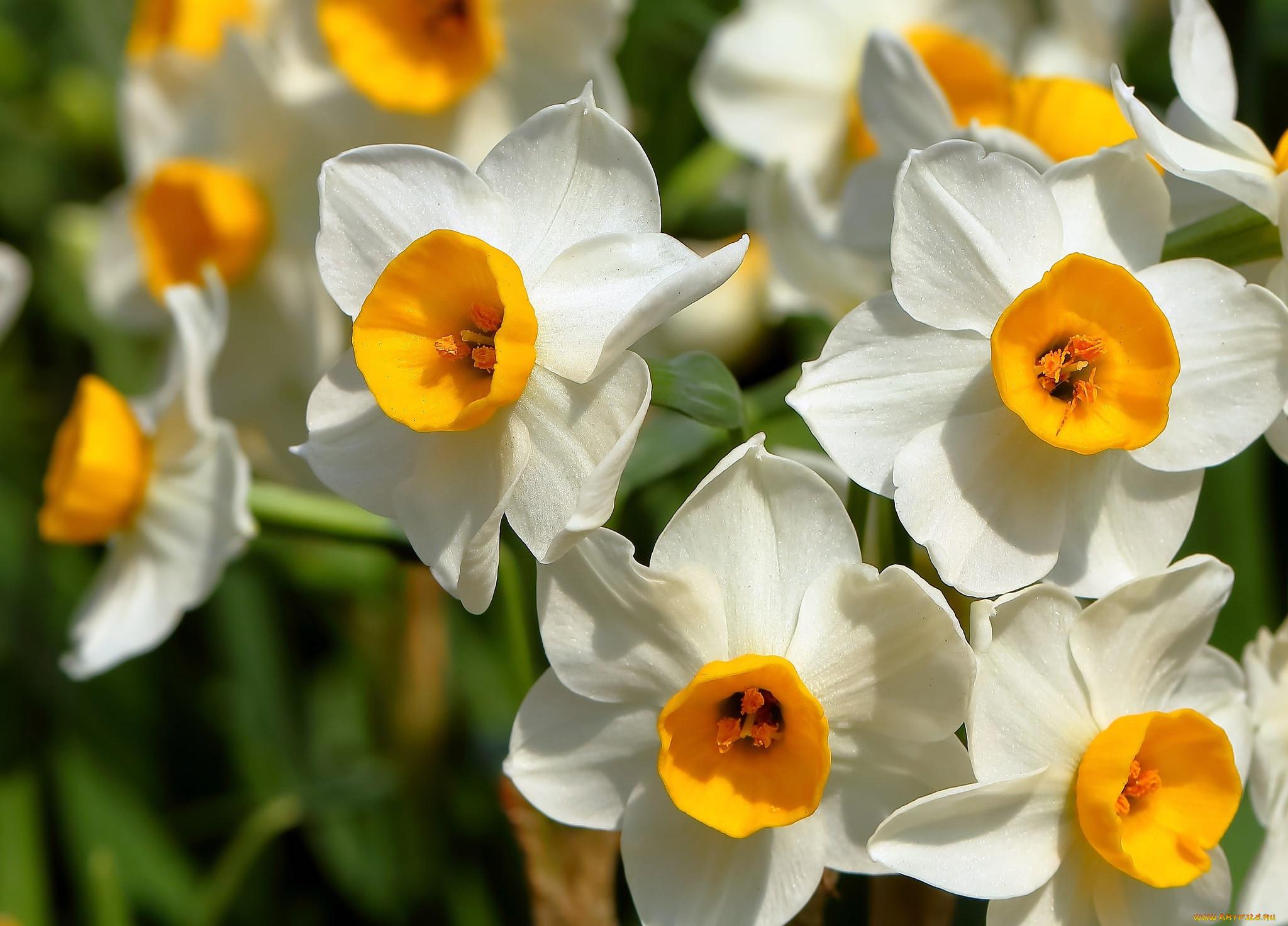 Картинки цветов тюльпан нарцисс роза ромашка